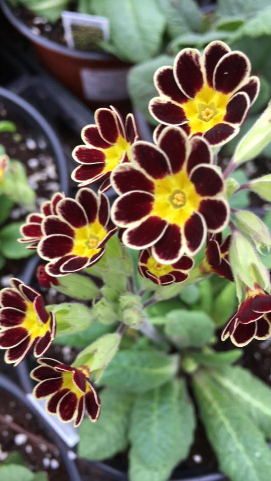 Perennial Plants by Henry's Gardens