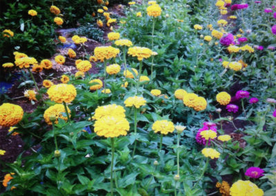 Annuals at Henry's Gardens