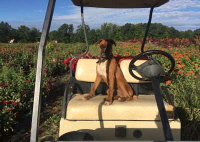 Henrys-Gardens-Boxer-On-Cart