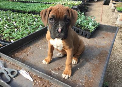 Henrys-Gardens-Puppy