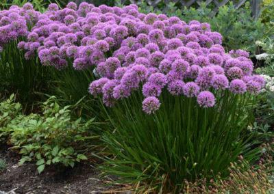 Allium-Millenium