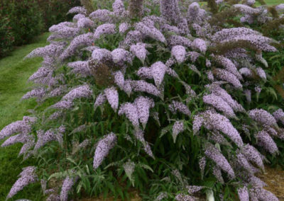Buddleia-Grand-Cascade