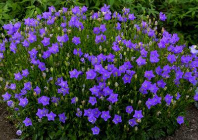 Campanula-carpatica-Violet-Teacups