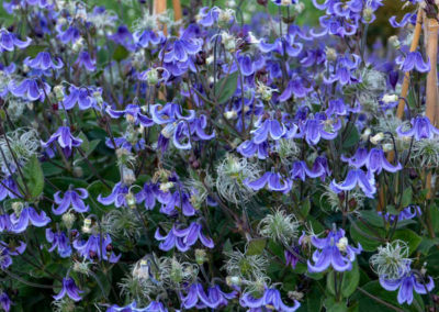 Clematis-Stand-by-Me