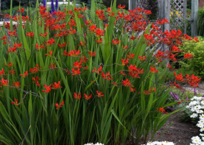 Crocosmia-Lucifer