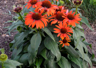 Echinacea-Atomic-Orange