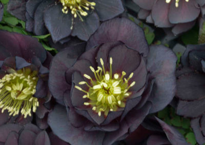 Helleborus-Dark-and-Handsome