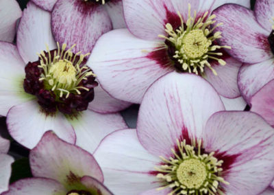 Helleborus-French-Kiss
