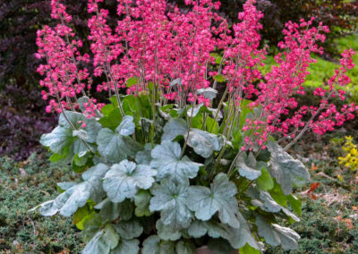 Heuchera-Spearmint