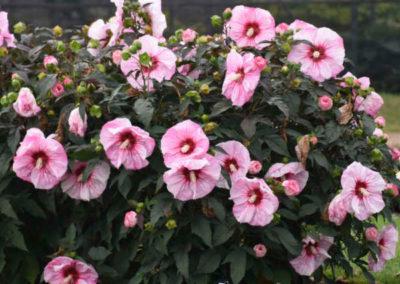 Hibiscus-Cherry-Choco-Latte