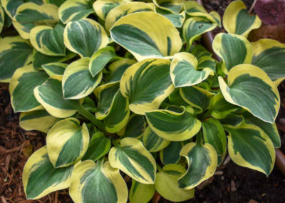 Hosta-Mighty-Mouse
